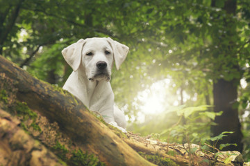 young white labrador dog duppy in the forest