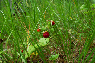 Wild strawberry growing in natural environment. Macro close-up dolly shot.