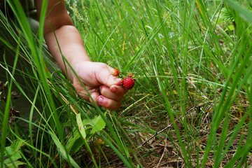 the child collects strawberries in the forest.