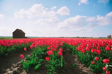 Tulpen mit blauem Himmel