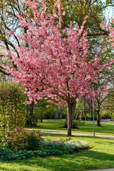 Frühling im Park, japanischer Zierkirsche und Tränendes Herz