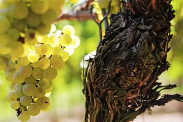 Rebstöcke, Weinberg, Weintrauben