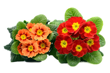 two red and orange primula flowers from top view on white isolated background