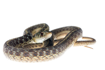 Female garter snake on white background