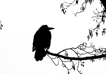 ROOK - A black bird sits on a branch