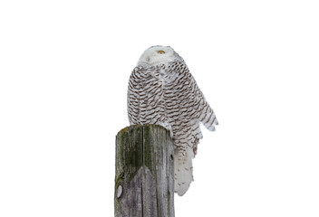 Wall Mural - Snowy Owl Facing Into the Wind and Isolated on White