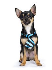black chiwawa dog sitting with blue black tie looking to the camera isolated on whtie backgound