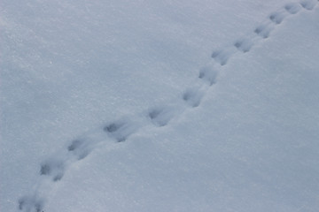 Traces of a mouse in the snow