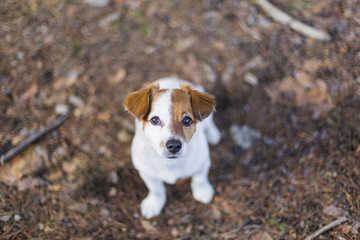 portrait of a young cute small dog sitting on the floor looking at the camera. Brown and white colors.Outdoors, top view