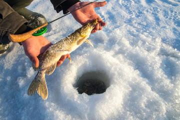 Freshly caught pike fish in hands, fisherman success. Winter ice fishing.