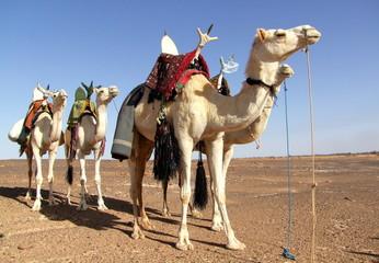 vier weiße Reitkamele einer Karawane warten in der  weiten Wüste auf ihre Reiter