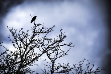 Single Crow in a tree