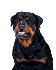 Rottweiler dog lisolated on white background