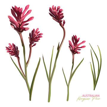 Pink Flowering Kangaroo Paw Realistic Vector