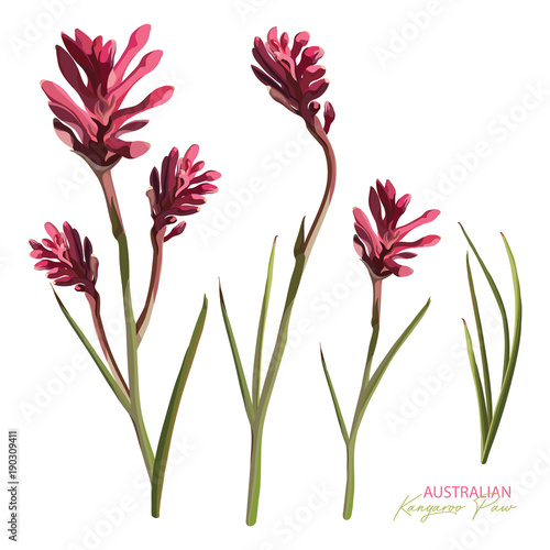 a52537081 Pink Flowering Kangaroo Paw Realistic Vector