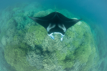 Manta Ray Swimming Over Cleaning Station