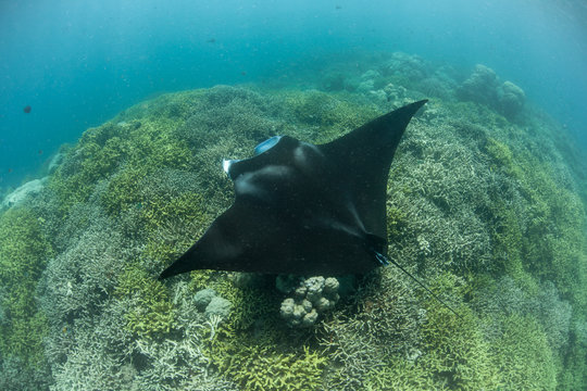 Manta Ray at Cleaning Station in Yap