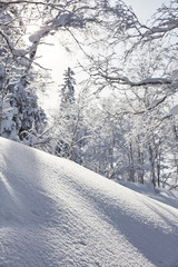 Snow covered forest in winter