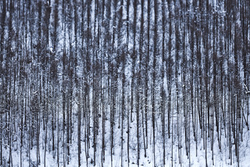 Winter Forest in Japan