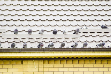 Pigeons on the roof of the house sit in a flock