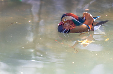 Brightly Hued Plumage on a Mandarin Duck Swimming in a Rippling Pond
