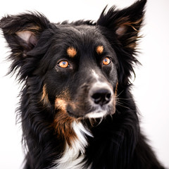 Beautiful Black and Tan Australian Shepherd