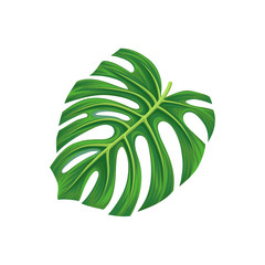 Leaf of monstera palm tree, exotic plant vector Illustration