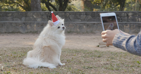 Taking photo on White Pomeranian wearing Santa Claus hat in the park