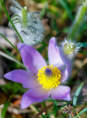spring flower Pulsatilla pratensis (small pasque flower)