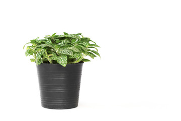green plant in pot isolate on white background