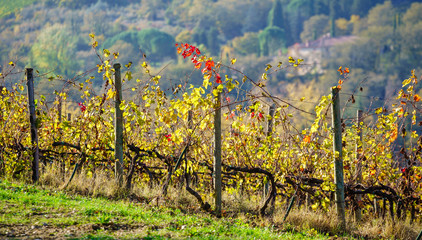 autumn vineyard with grapes Fototapete