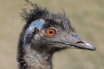 Vogelportrait Nandu