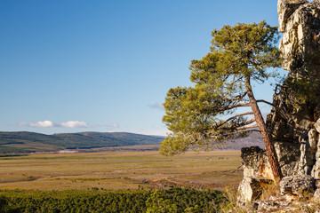 Pino resinero en el Pinar de Castrocontrigo, León, España. Pinus pinaster.