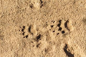 Huellas de tejón común, en la arena húmeda. Meles meles.
