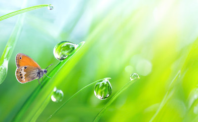 Beautiful large drops fresh morning dew macro in nature. Drops transparent water  on grass and  butterfly outdoors. Spring summer background with copy space.