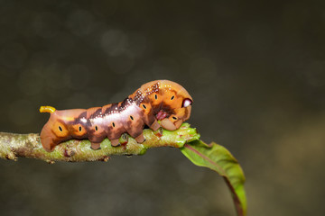 Image of Caterpillar Oleander Hawk-moth (Daphnis nerii) on tree branch. Worm. Insect. Animal.