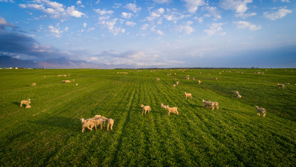 Aerial view over a flock of sheep on a farm