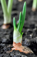 close-up of growing green onion in the vegetable garden, vertical composition
