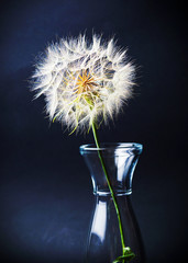 Dried dandelion in a glass jar