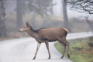 Female red deer crossing road in nature reserve on misty morning.