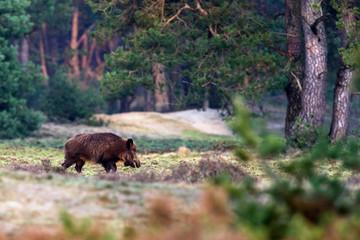 Solitary wild boar (sus scrofa) walking in forest meadow.