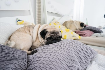 cute pug sleeping in bed