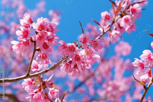 Beautiful Cherry Blossom Pink Sakura Flowers With Blue Sky In