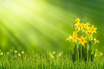 Foto op Plexiglas Narcis osterglocken auf der frühlingswiese