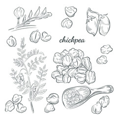 Chickpea plant hand drawn illustration. Peas, pods and blooming sketches. Scoop for chickpeas isolated on white background.