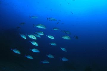 Trevally fish hunting