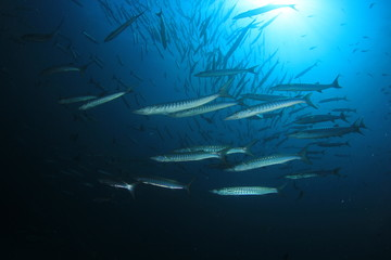 Fish in ocean. Chevron Barracuda shoal