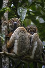 Wall Mural - Eastern Woolly Lemur - Avahi laniger, rain forest Madagascar east coast. Cute primate. Madagascar endemite.