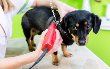 Woman is shearing dog with trimmer in pet grooming parlor
