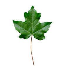 green maple leaf isolated on white background close-up